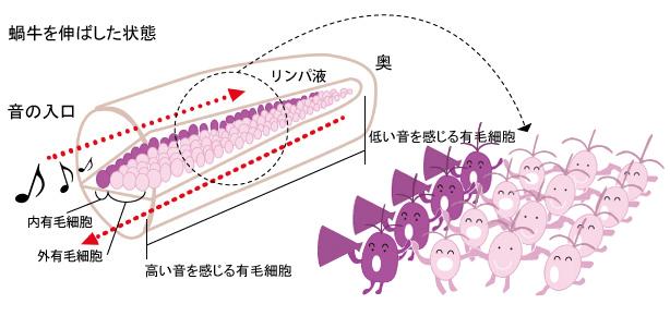 蝸牛の構造