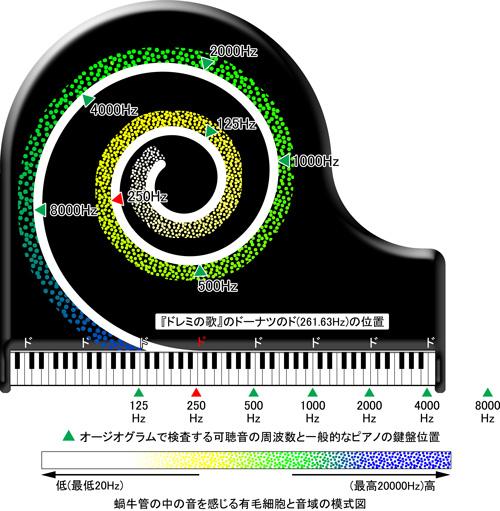 蝸牛管の中の音を感じる有毛細胞と音域の模式図